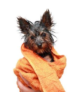yorkie skin problems treatment 1000 ideas about yorkie poo puppies on yorkie puppies and poodle mix