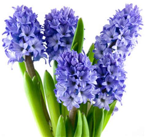 Pretty Plant Names by Hyacinth Perfume Ingredient Hyacinth Fragrance And