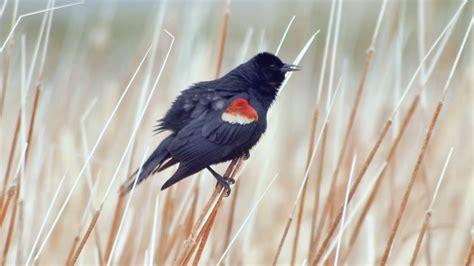 tri colored blackbird tricolored blackbird