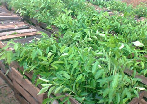 Jual Bibit Cendana Wangi jual bibit kayu gaharu aquilaria malaccensis arief ramadhan