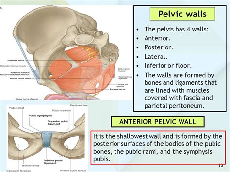 Pevic Floor Ligament by Anatomy Of The Pelvis Ppt