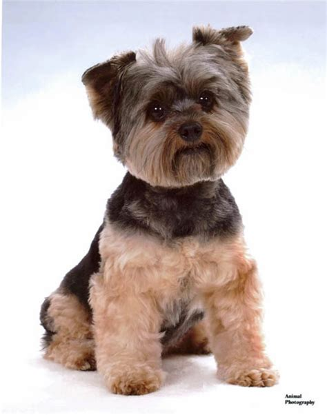 cut yorkie top 35 yorkie haircuts pictures terrier