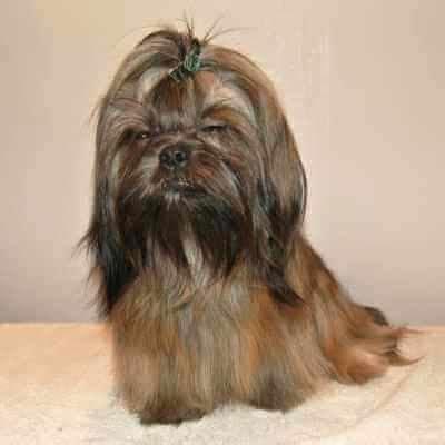 shih tzu puppies nebraska available puppies