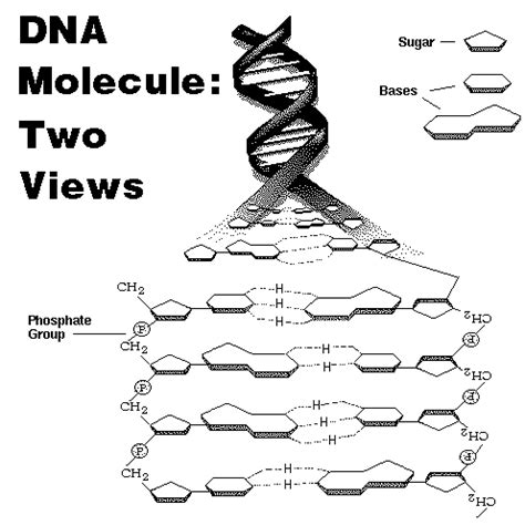 dna molecule and replication worksheet biology if8765 lecture on dna components