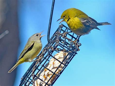 backyard birds of texas central texas backyard birds travis audubon