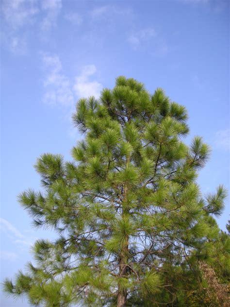 pinus massoniana wikispecies