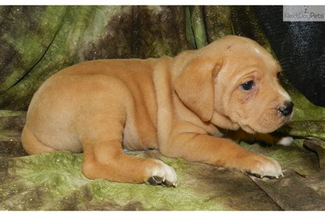 mountain cur puppies for sale mountain cur puppy for sale near springfield missouri 17bdf9e3 b5e1