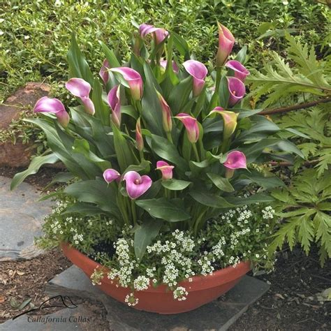 how to plant calla lilies calla lily for nee planting