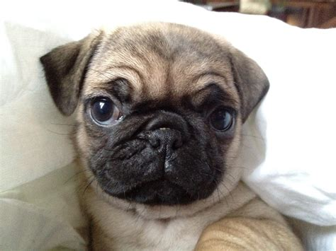 photos of baby pugs baby pug pug
