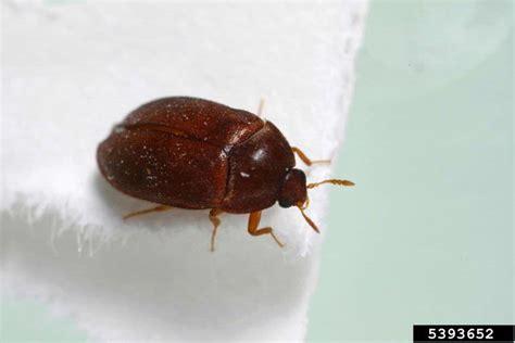 Brown Carpet Beetles by Black Carpet Beetle Attagenus Brunneus Coleoptera