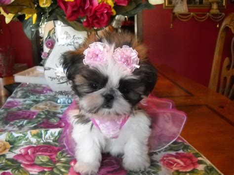 happy birthday shih tzu pictures birthday cakes for shih tzu breeds picture