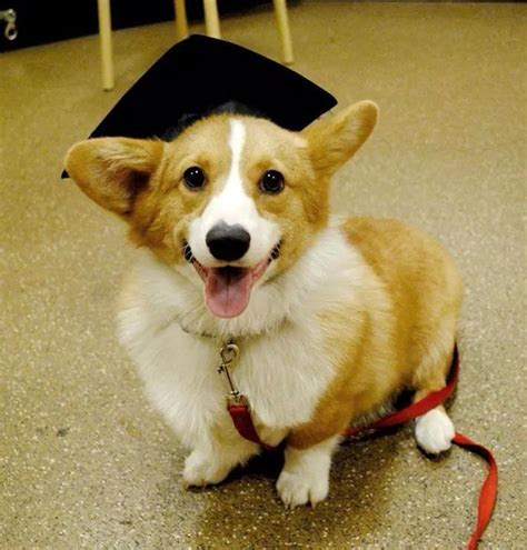 puppy graduation 87 best images about dogs graduation day on graduation hats