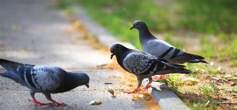 do you need pigeon removal bird control pigeon control