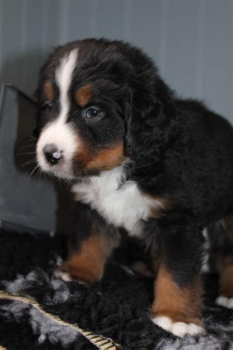 bernese mountain mix puppies for sale bernese mountain puppies for sale in colorado and breeders design bild