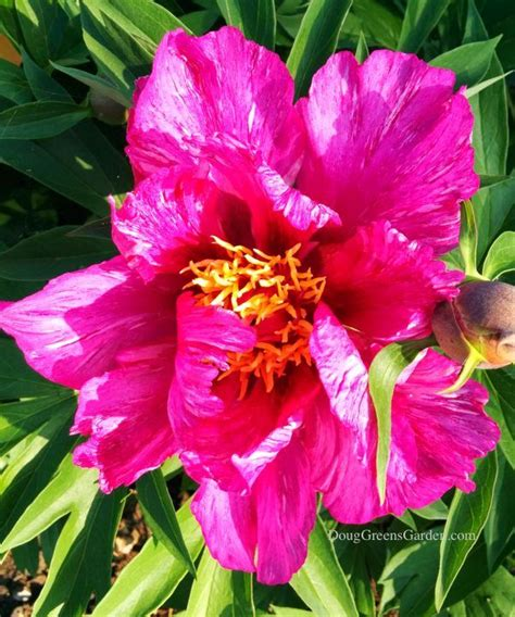 yankee doodle dandy flower 129 best i my itoh peonies images on