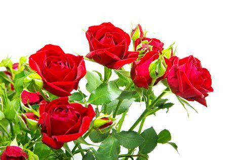 imagenes de jardines de rosas rojas banco de im 225 genes para ver disfrutar y compartir