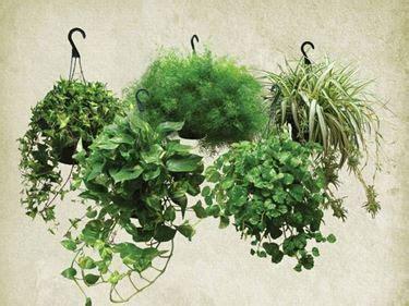 piante ricadenti da interno piante ricadenti da interno cerca con giu ele