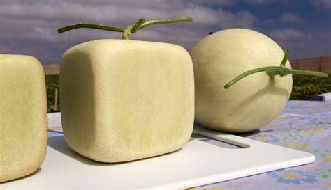 melones cuadrados melones cuadrados y m 225 s dulces la nueva fruta chilena
