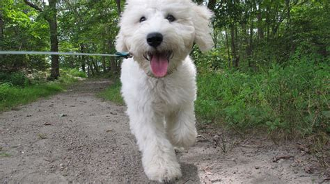 goldendoodle puppy uti 5 reasons to walk your for national walk your day