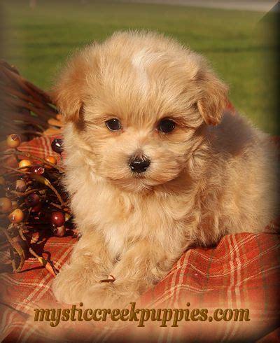 maltipoo puppies for sale in alabama die besten 25 maltipoo for sale ideen auf maltipoo welpen zum verkauf