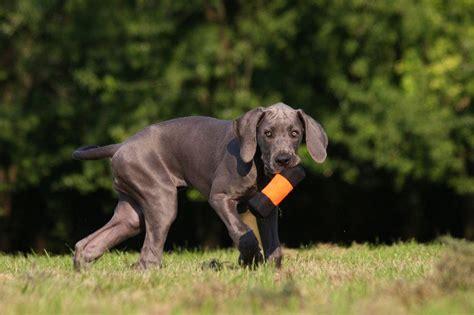 hund ab wann stubenrein dogge erziehung tipps f 252 r den umgang mit dem dogge