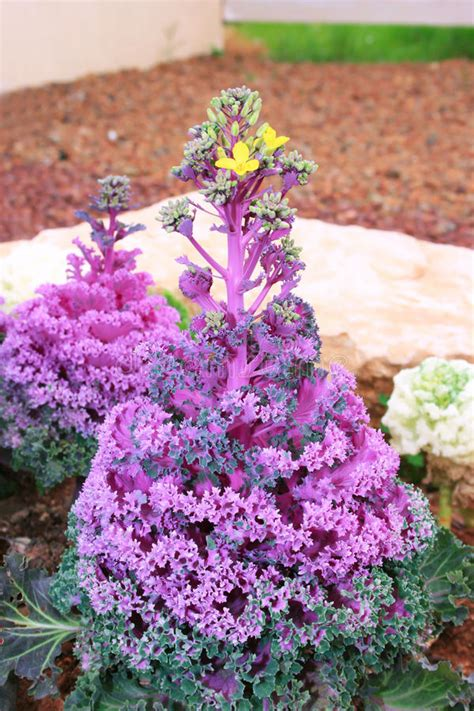 ornamental cabbage pictures decorative ornamental cabbage flower royalty free stock
