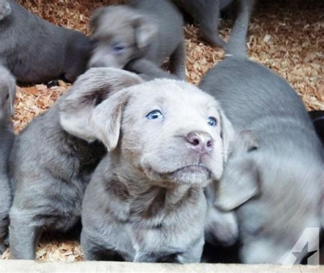 silver lab puppies for sale in oregon akc silver labrador puppies for sale in happy valley oregon classified