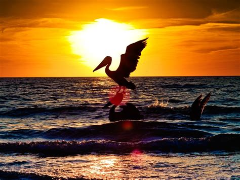 wallpaper pelican bird flying night silhouette sea