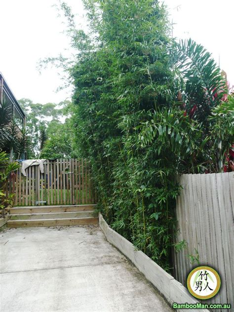 bamboo backyard privacy the 25 best clumping bamboo ideas on pinterest bamboo