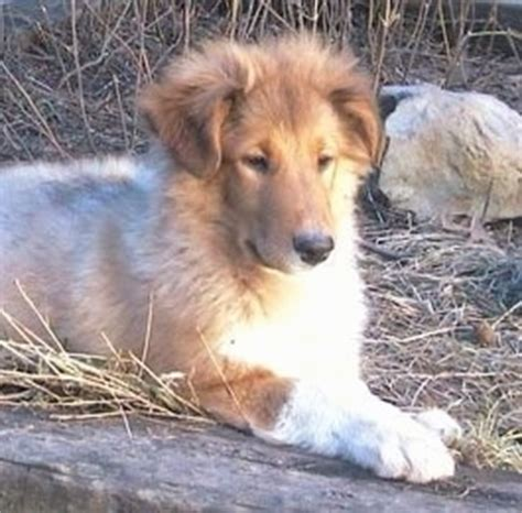 scotch collie puppies scotch collie breed information and pictures