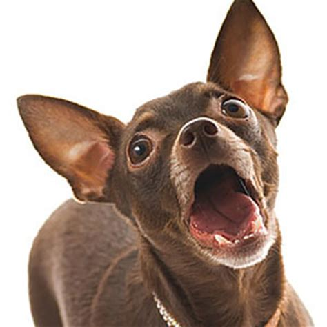 how to make stop barking how to make your chihuahua stop barking