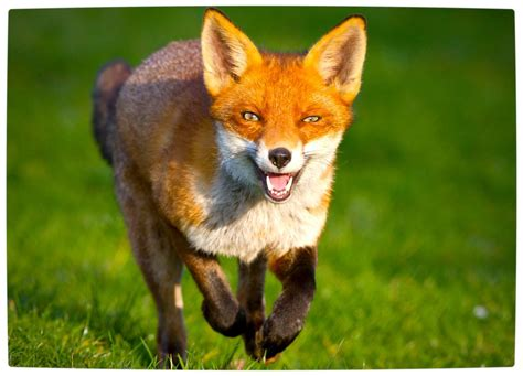 what does the say what does the fox say lyrics meaning
