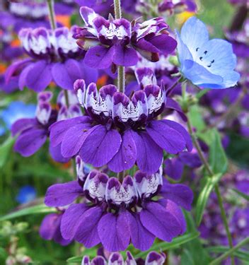 chinese houses flower collinsia species purple quot purple chinese houses quot buy