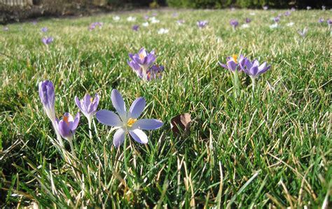 planting crocuses in the lawn
