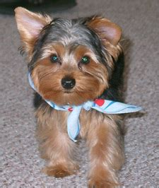 how to choose a yorkie puppy yorkie puppy for sale how to choose a new yorkie 123 pet