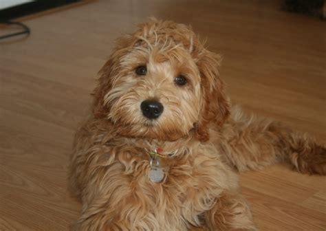 australian doodle puppies for sale ontario australian labradoodles