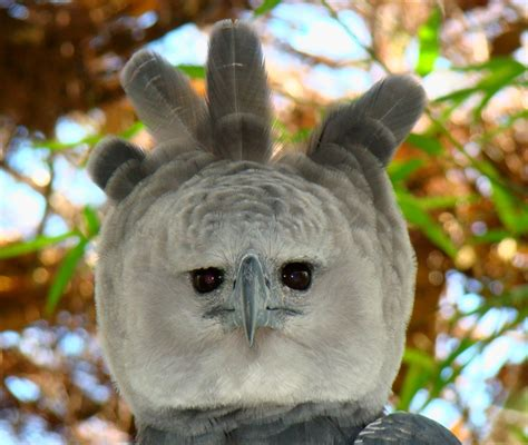 How Do Plants Adapt To The Tropical Rainforest - file portrait of a harpy eagle jpg wikimedia commons