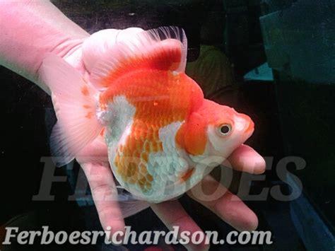 Pakan Ikan Koki Yang Baik cara pemeliharaan ikan koki ferboes