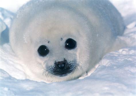imagenes de focas blancas animales en peligro de extincion la foca blanca