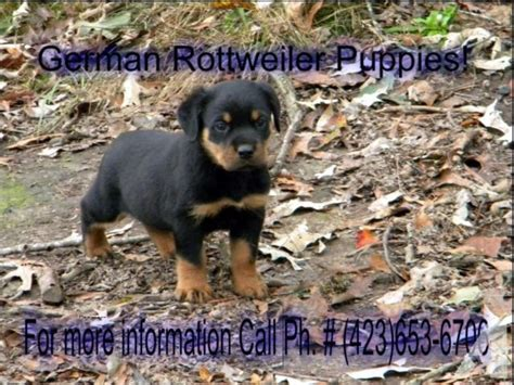 rottweiler puppies for sale in ga akc registered chion bloodline german rottweiler puppies for sale in trenton