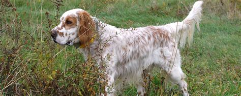 english setter dog wiki decoverly kennels