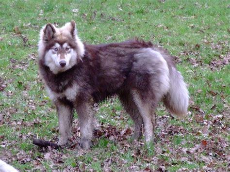 siberian husky rottweiler chena malamute siberian husky mischling mix