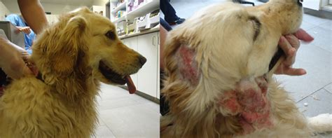 golden retriever spots treatment spots itchy skin and allergies it must be summer royal york animal hospital