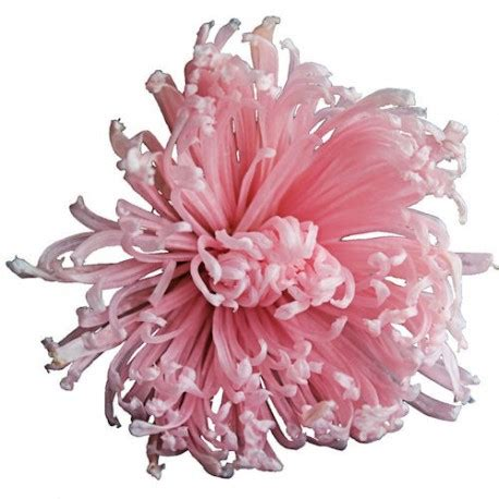 Bloom Box Big Pink Preserved Flower Best For Gift preserved flowers pink chrysanthemum