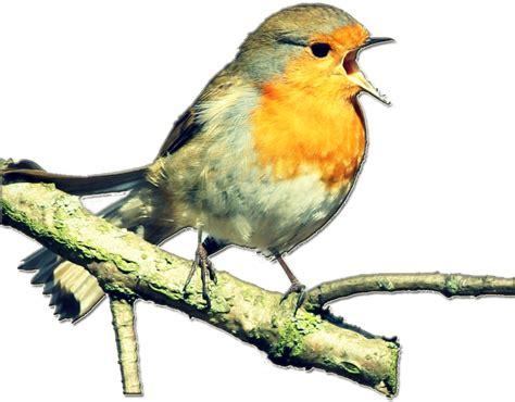 Giring Buat Burung Dara siklus giring dan bertelur pada burung merpati cara belajar seo