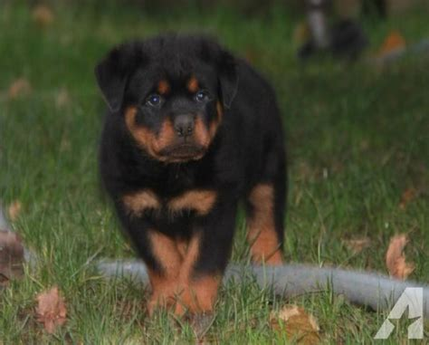 rottweiler puppies for sale in washington adorable rottweiler puppies for sale for sale in vancouver washington classified