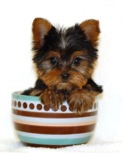 where can i buy a teacup yorkie for cheap yorkie haircuts newhairstylesformen2014