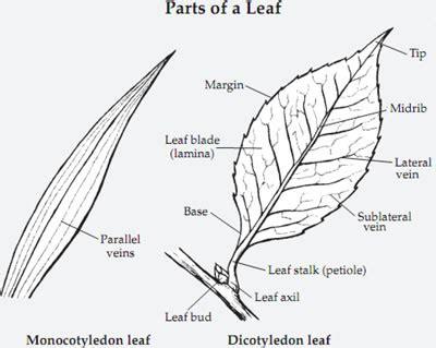 Beschriftung Laubblatt by Plant Leaf Anatomy