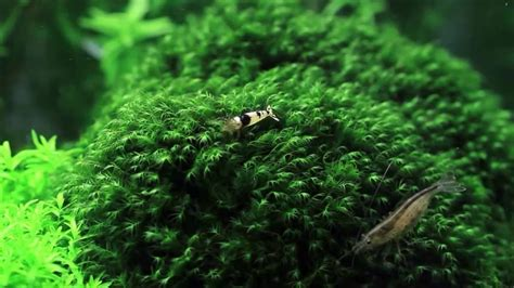 Aquascape Moss by Fissiden Moss Moss Karpet Pohon Aquascape