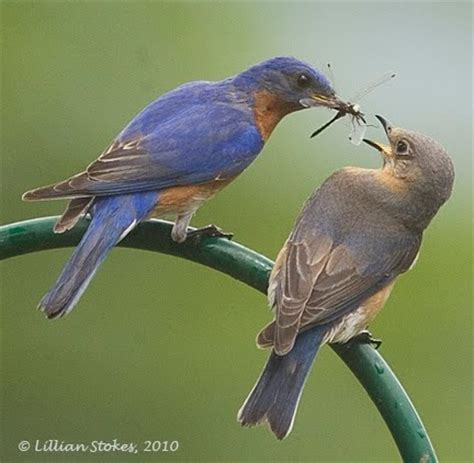 stokes birding blog bluebirds mate feeding breeding